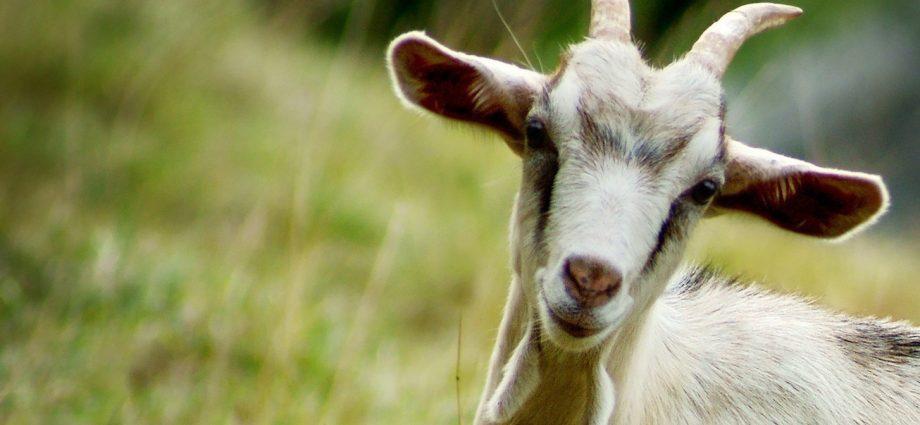 В одном из районов региона введён карантин по оспе коз и овец