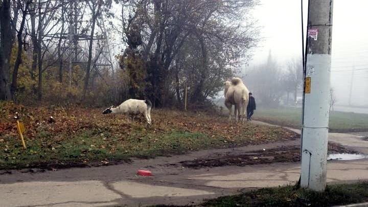 Верблюд в Туле