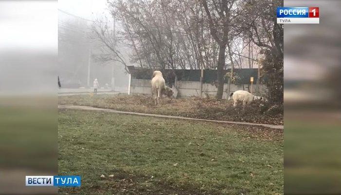 На главной улице Тулы замечен верблюд