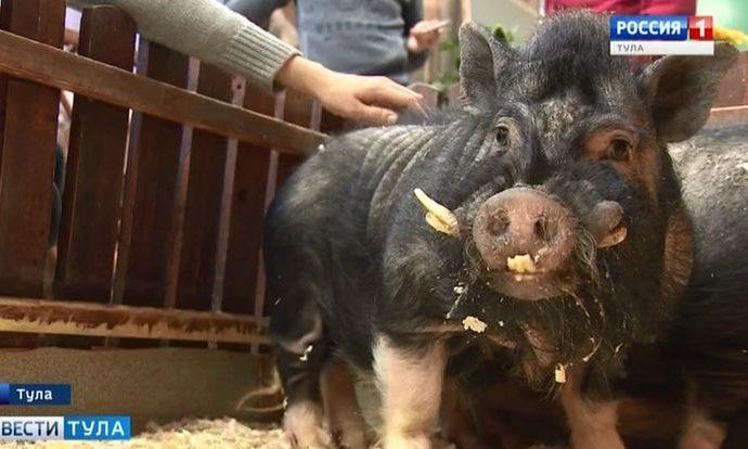 В год жёлтой свиньи важны упорство и доброта