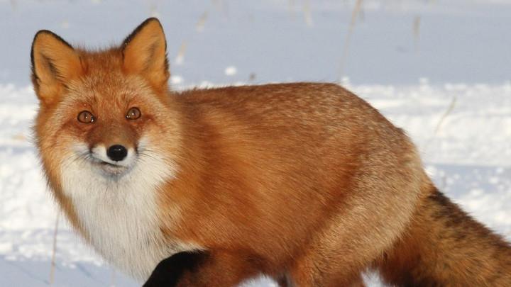 Дикие лисы атакуют село Тургенево в Чернском районе