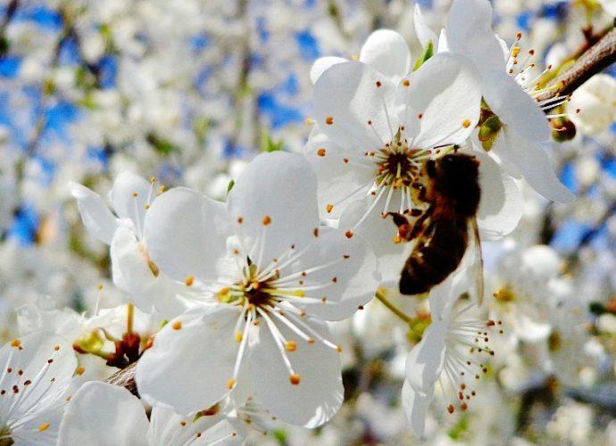 В Бутырках зацветет вишневый сад