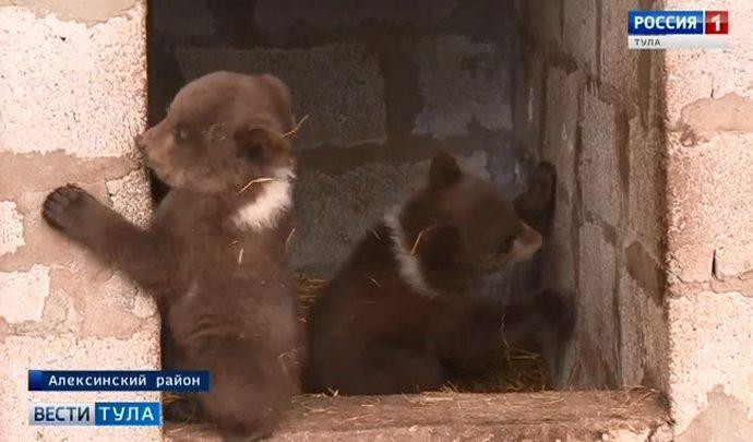В Тульской области впервые за долгое время в неволе родились трое медвежат