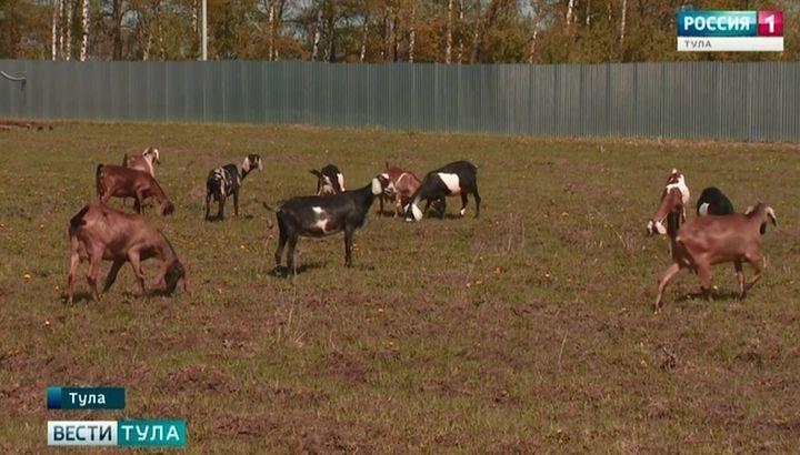 Зачем в Тульскую область привезут коз со всей страны?