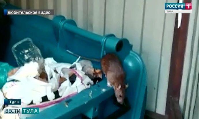 Крысы не испугались того, что их показали по телевизору