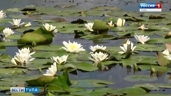 На пруду Куликова поля зацвели водяные лилии