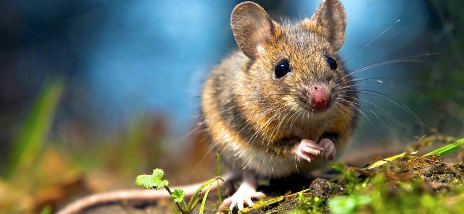 Мышь. Мышиная лихорадка
