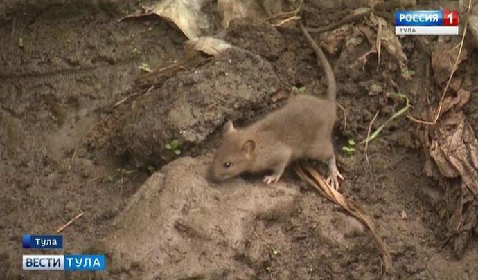 Берег Рогожни в Туле стал излюбленным местом обитания крыс