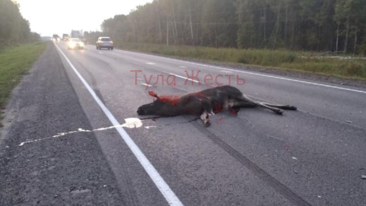 В Тульской области лось неудачно перебежал дорогу