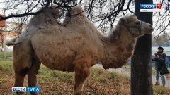Жителей Богородицка удивил верблюд, пасущийся в центре города