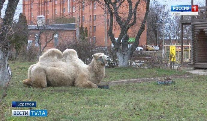 Жителей Ефремова удивил пасущийся на лужайке верблюд