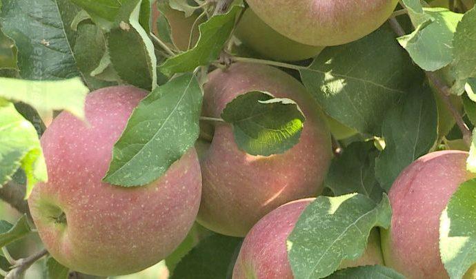 Белёвский завод получит займ на открытие производства яблочного пюре