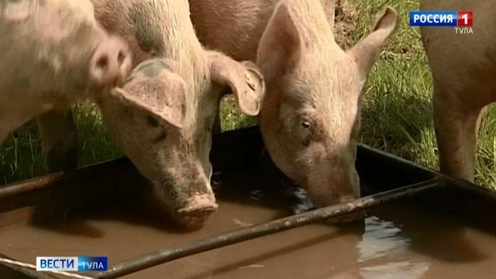 Суворовский фермер попытался скрыть вспышку чумы свиней