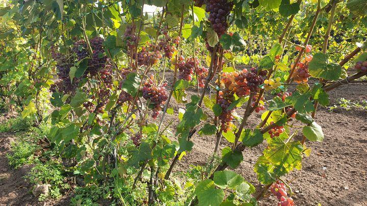 В Туле начался сбор винограда