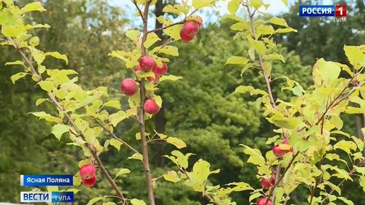 В Ясной Поляне восстанавливают яблоневые сады