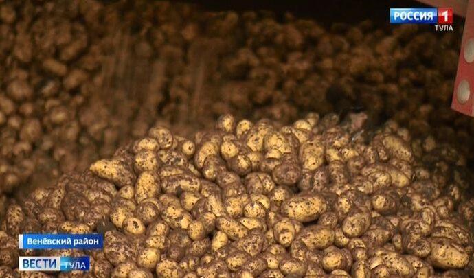 Грозит ли Туле картофельный голод