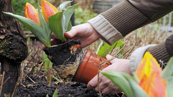 В Туле сажают тюльпаны