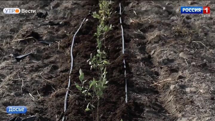 Ясногорские фермеры будут выращивать американскую голубику