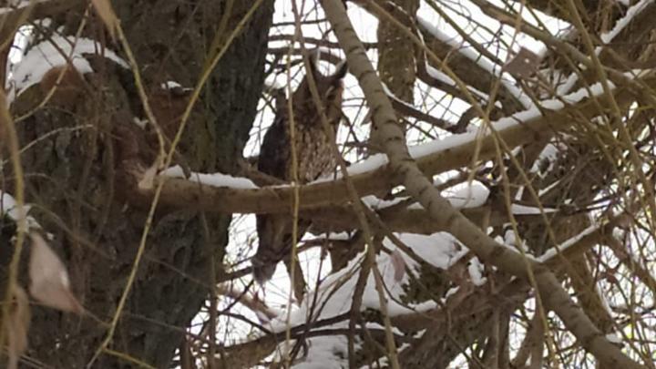 Ушастую сову обнаружили на территории центрального парка