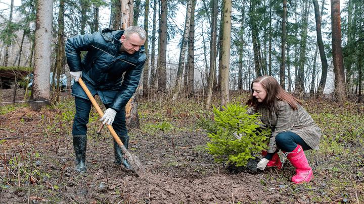 Сохранить для потомков: в Ясной Поляне высадили сотни молодых ёлок