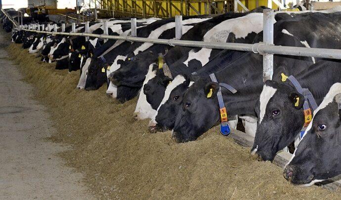 Коровы, ферма