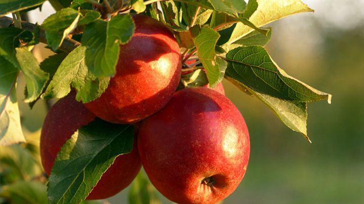 Православные празднуют Яблочный Спас